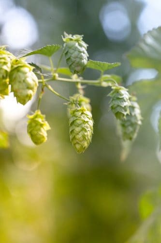 Best Natural Beer with Organic Hops